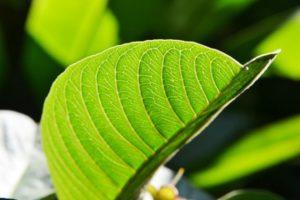 فوائد ورق الجوافة للشعر والبشرة